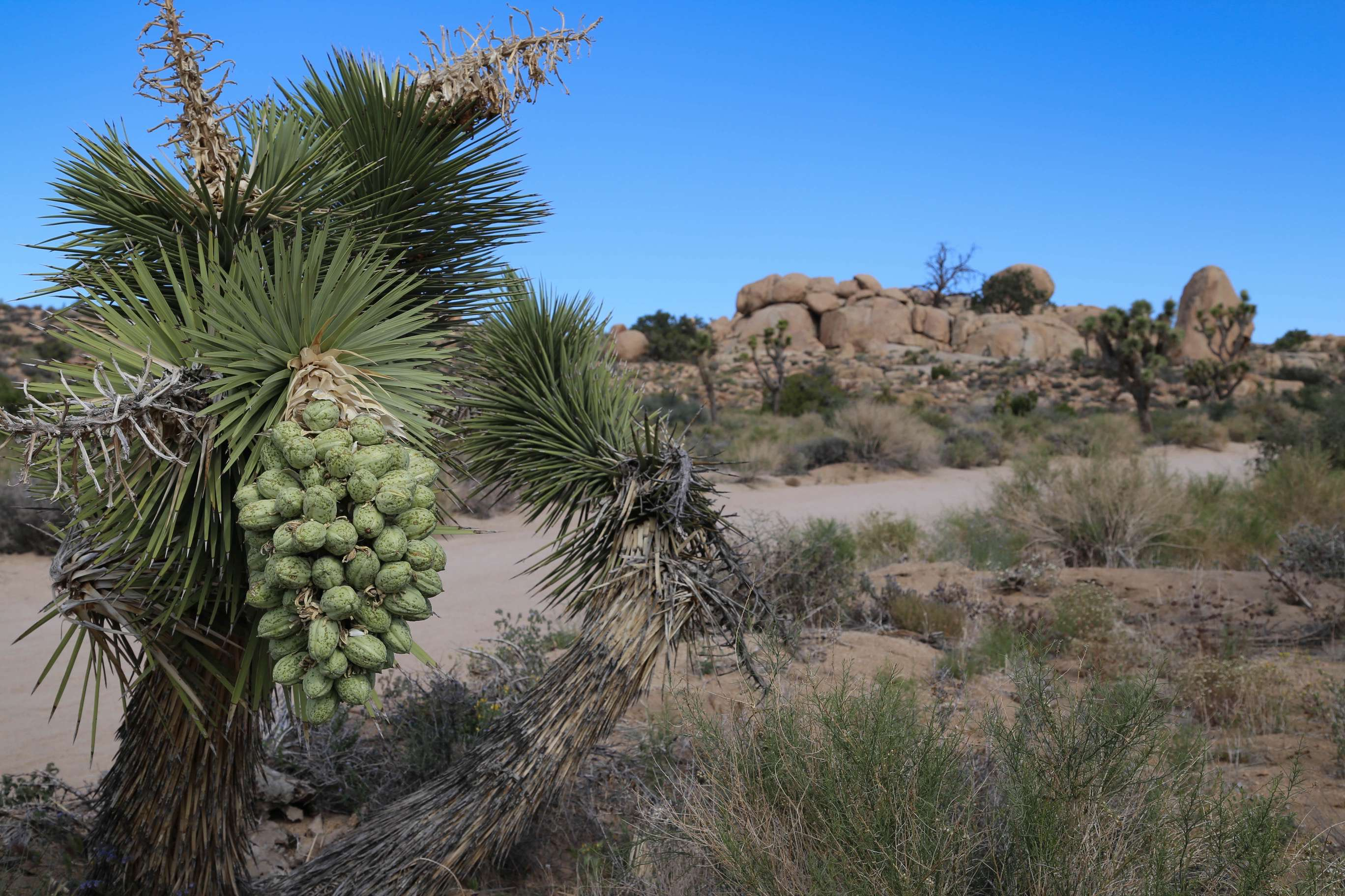 A Joshua tree, full of bloom basks in the warm sun.