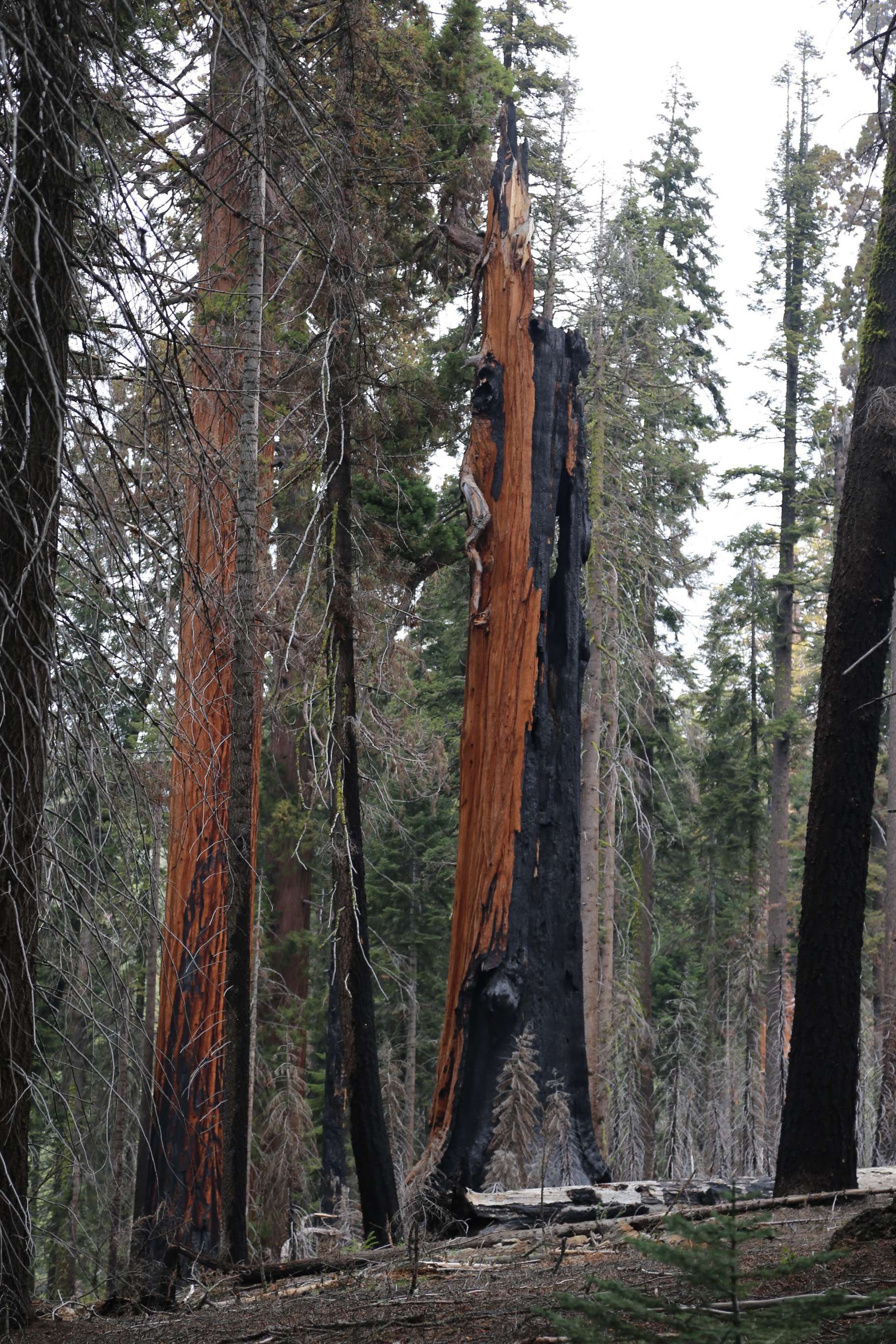 Giant sequoias can live on despite being seriously damaged by fire or lightning.