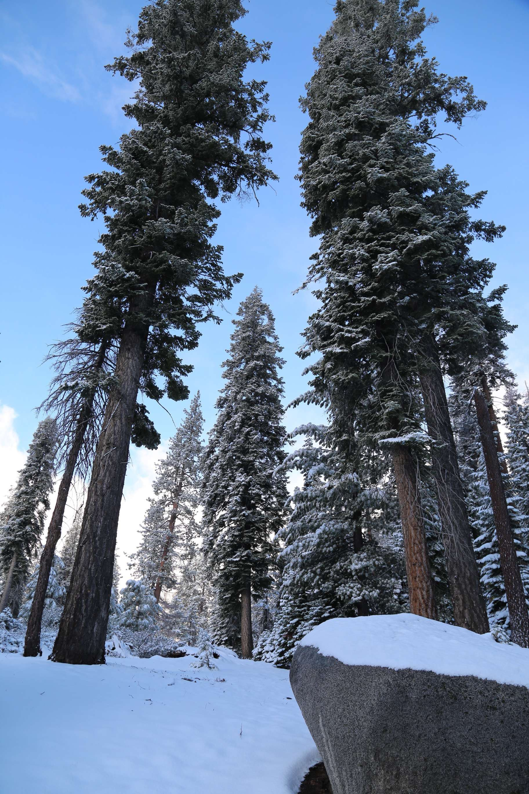 With a home range elevation of 4,600 feet to 6,600 feet above sea level, much of the moisture available to the giant sequoias comes from snow melt.