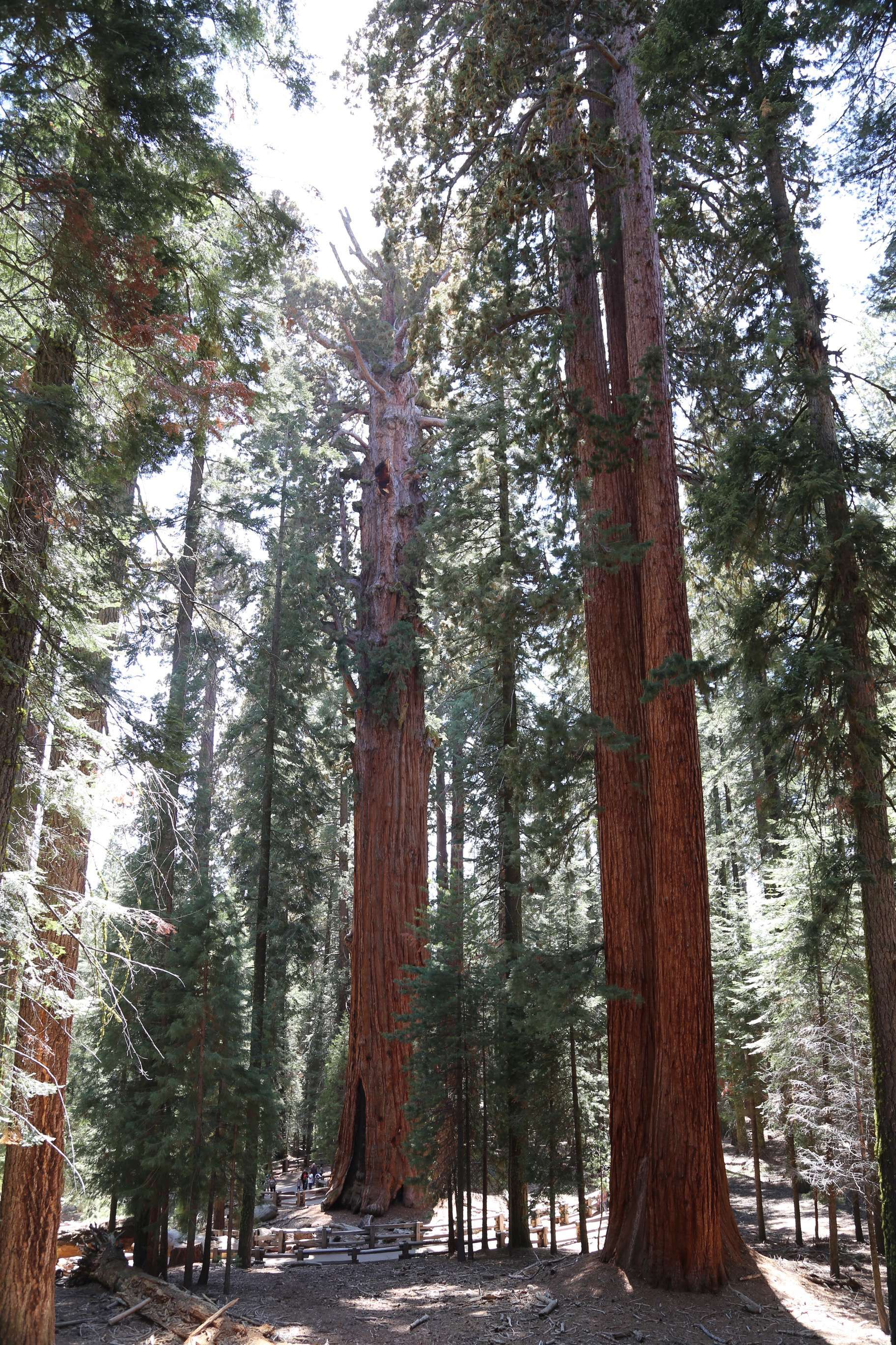 The pathways guide visitors through the groves and best viewing points without trampling to death the delicate roots the sequoias need to survive.