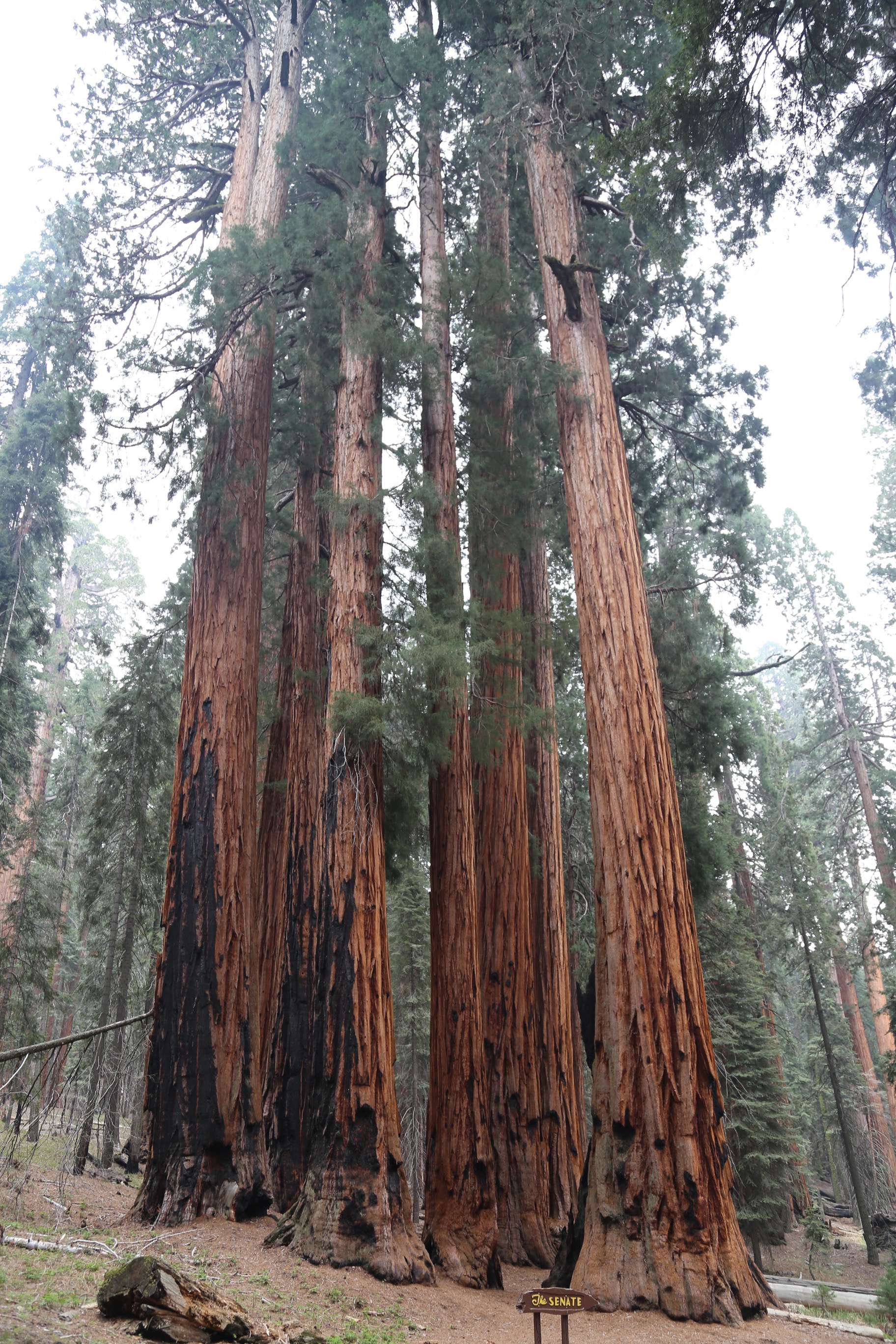 This magnificent grove in Sequoia NP is named The Senate, alluding perhaps to the pace at which the namesake moves?