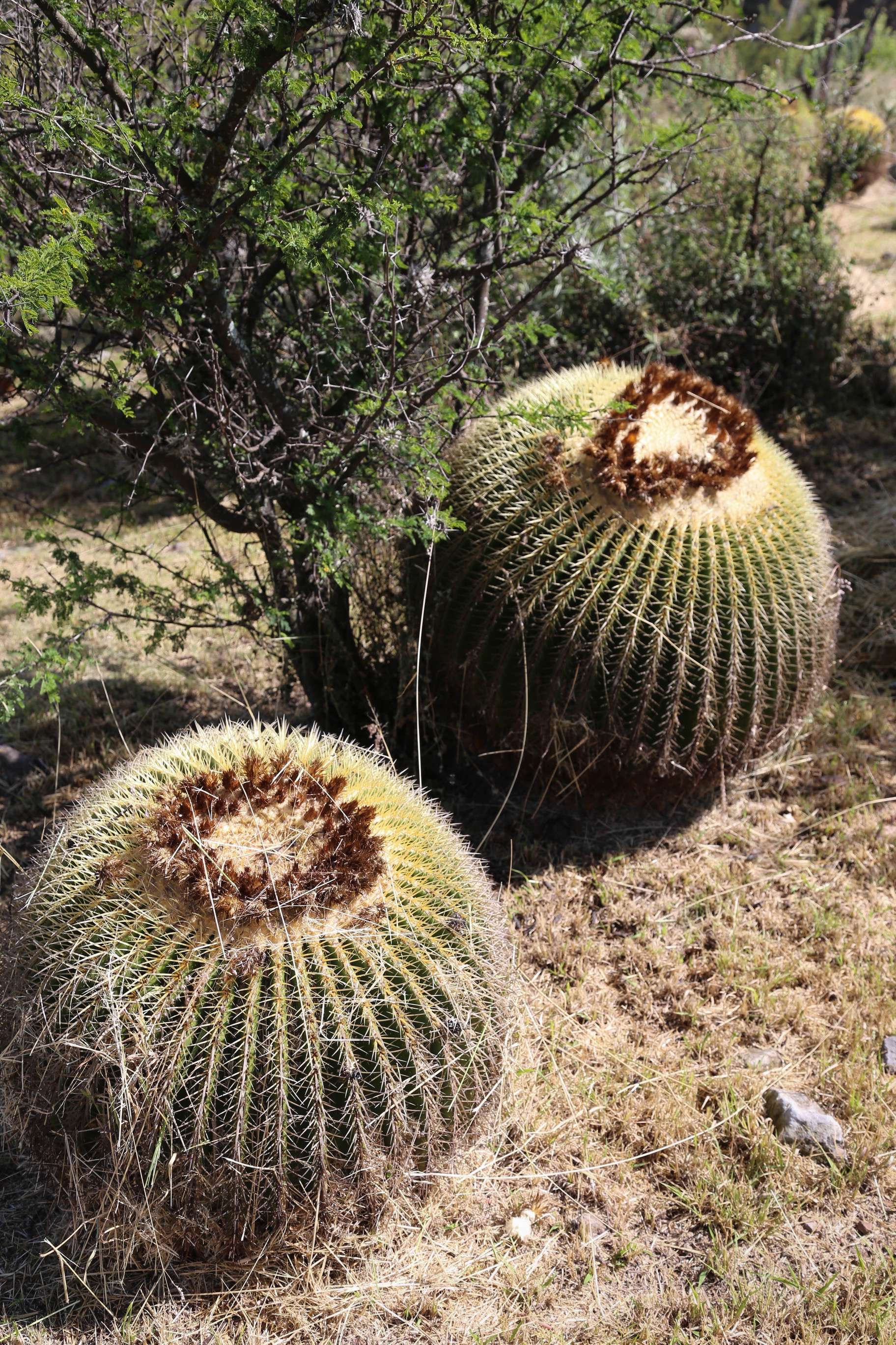Barrel cactus like these have been brought to the garden, saved from land development.