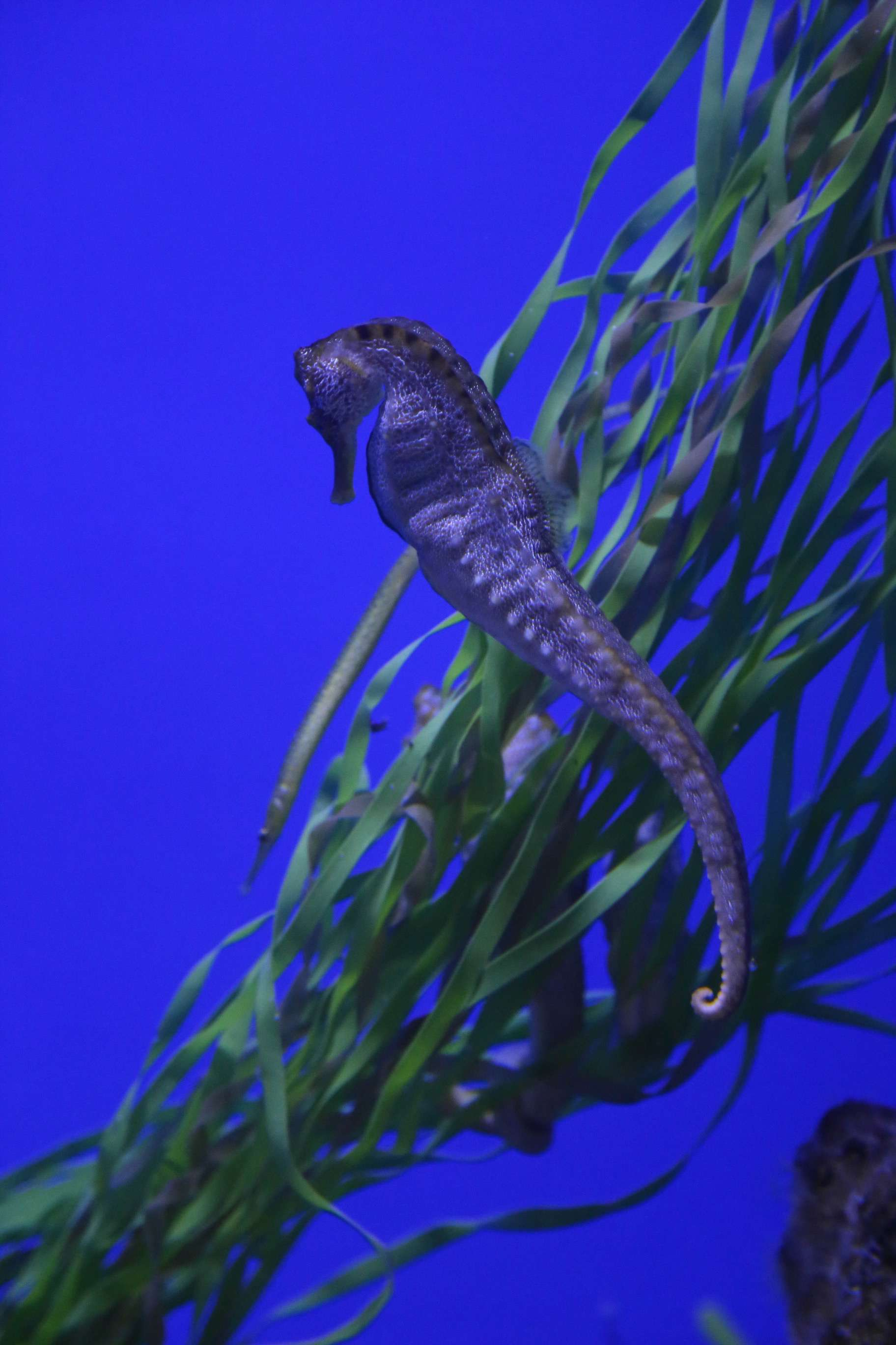 A seahorse languidly flutters in the current of its tank at the Scripps Institution of Oceanography.