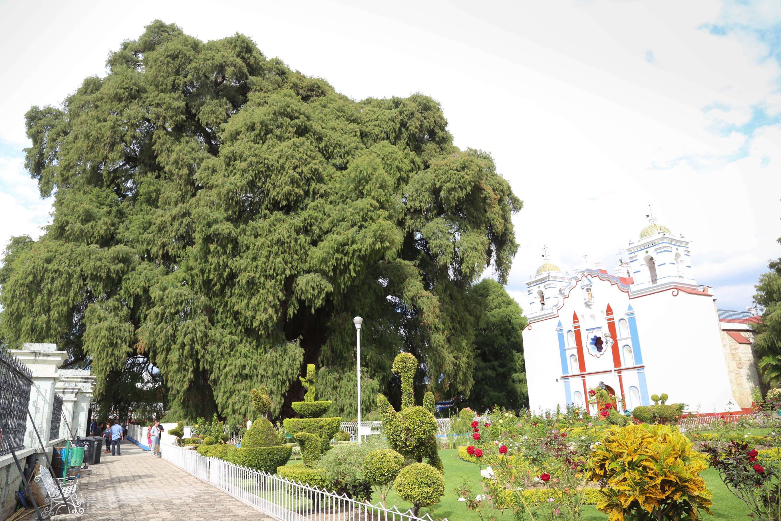 El Tule del Arbol was planted well over 1,000 years ago by a Zapotec priest.