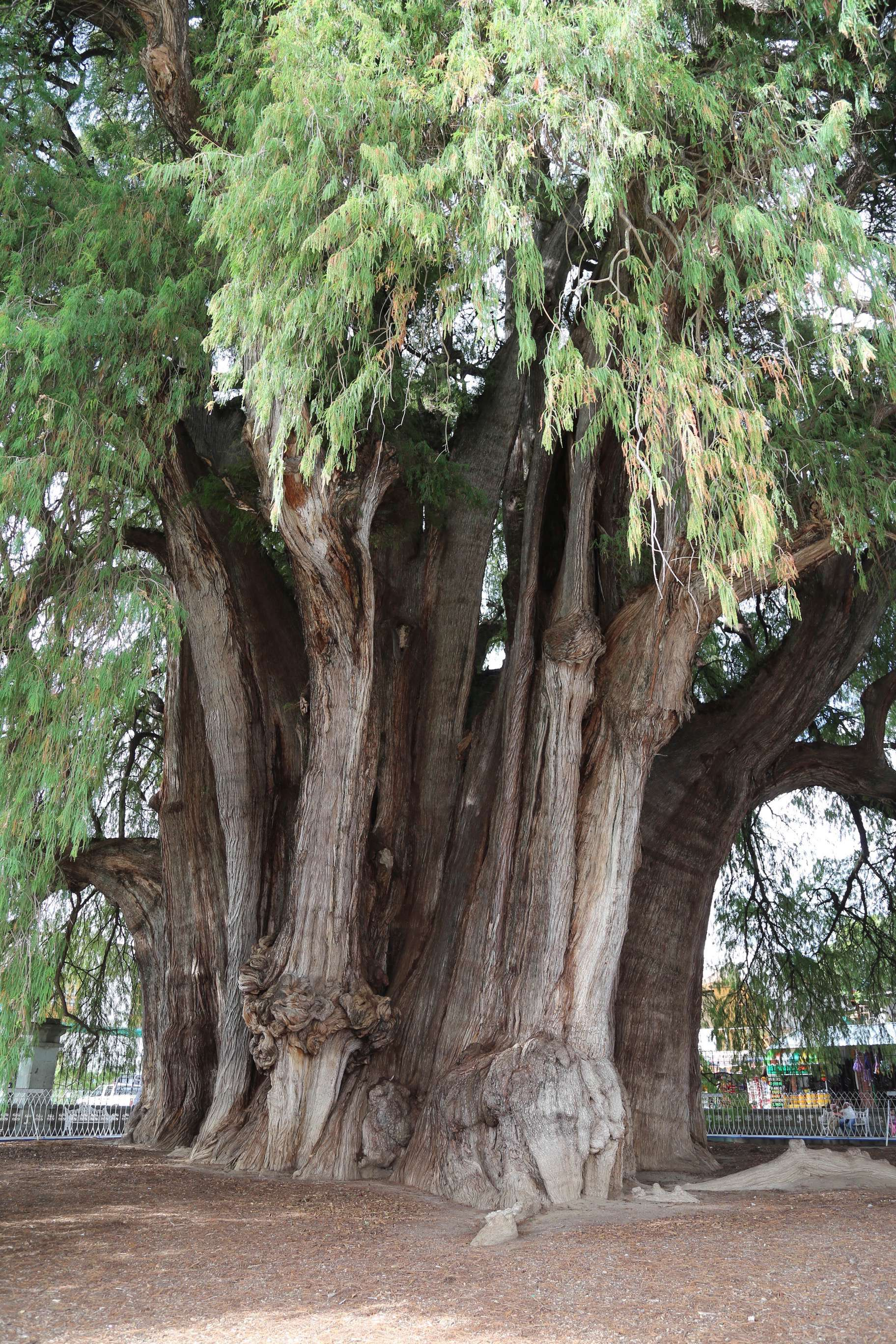 One can spend hours studying and appreciating the massive trunk of El Tule.