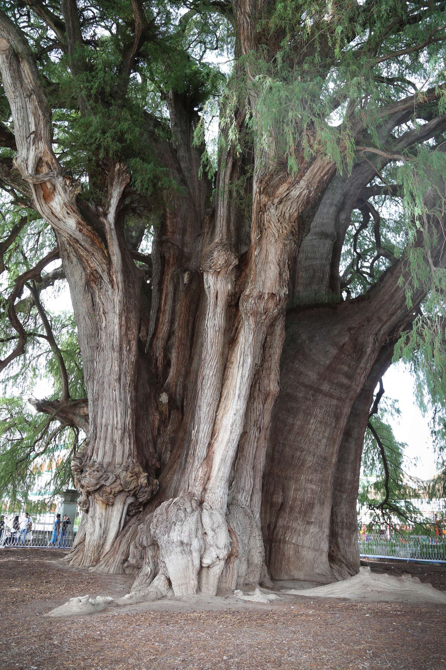 The massive trunk gives way to enormous branches that create a majestic canopy that provides shade and tranquility.