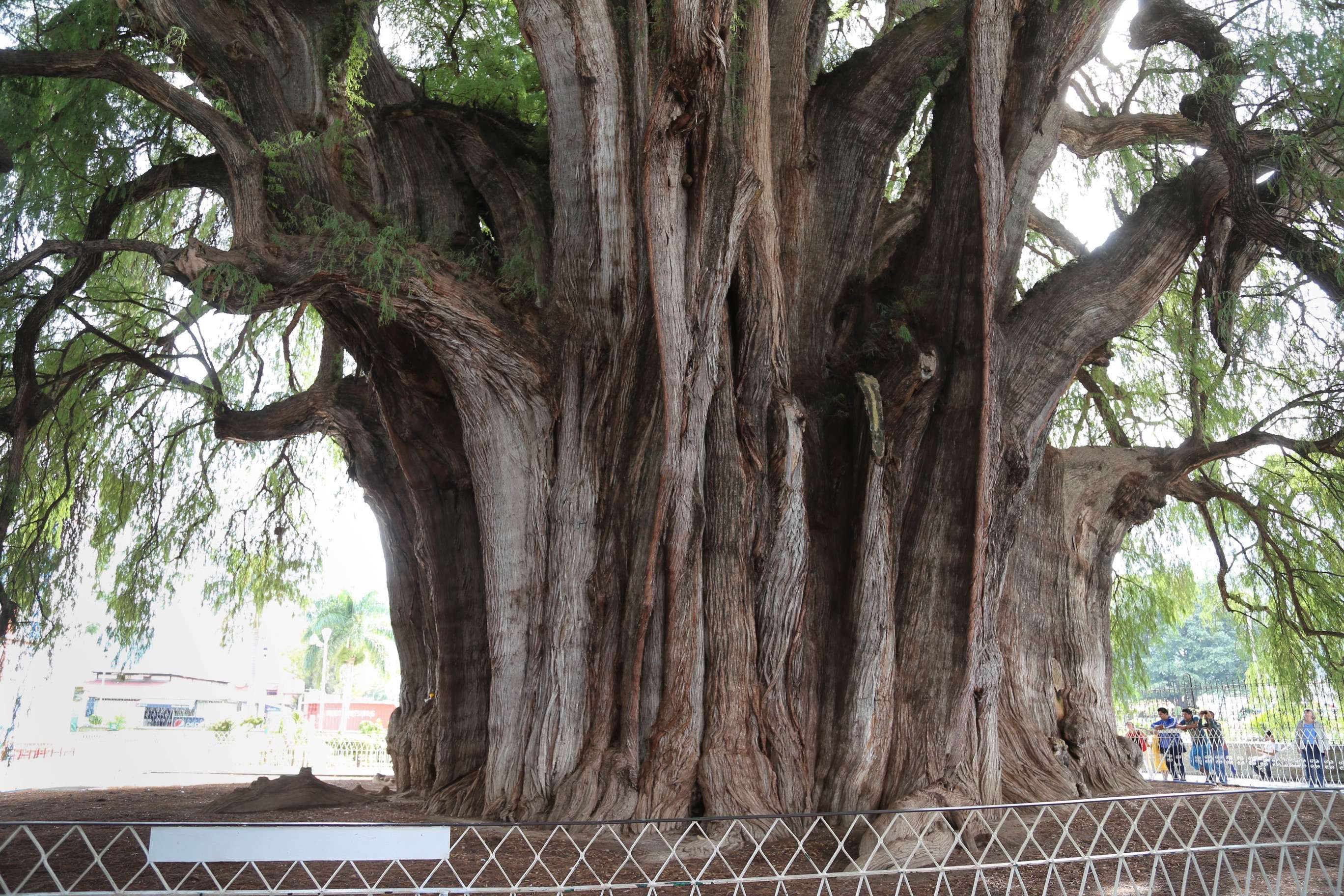 Over the centuries, El Tule's trunk has grown complex and gnarled.