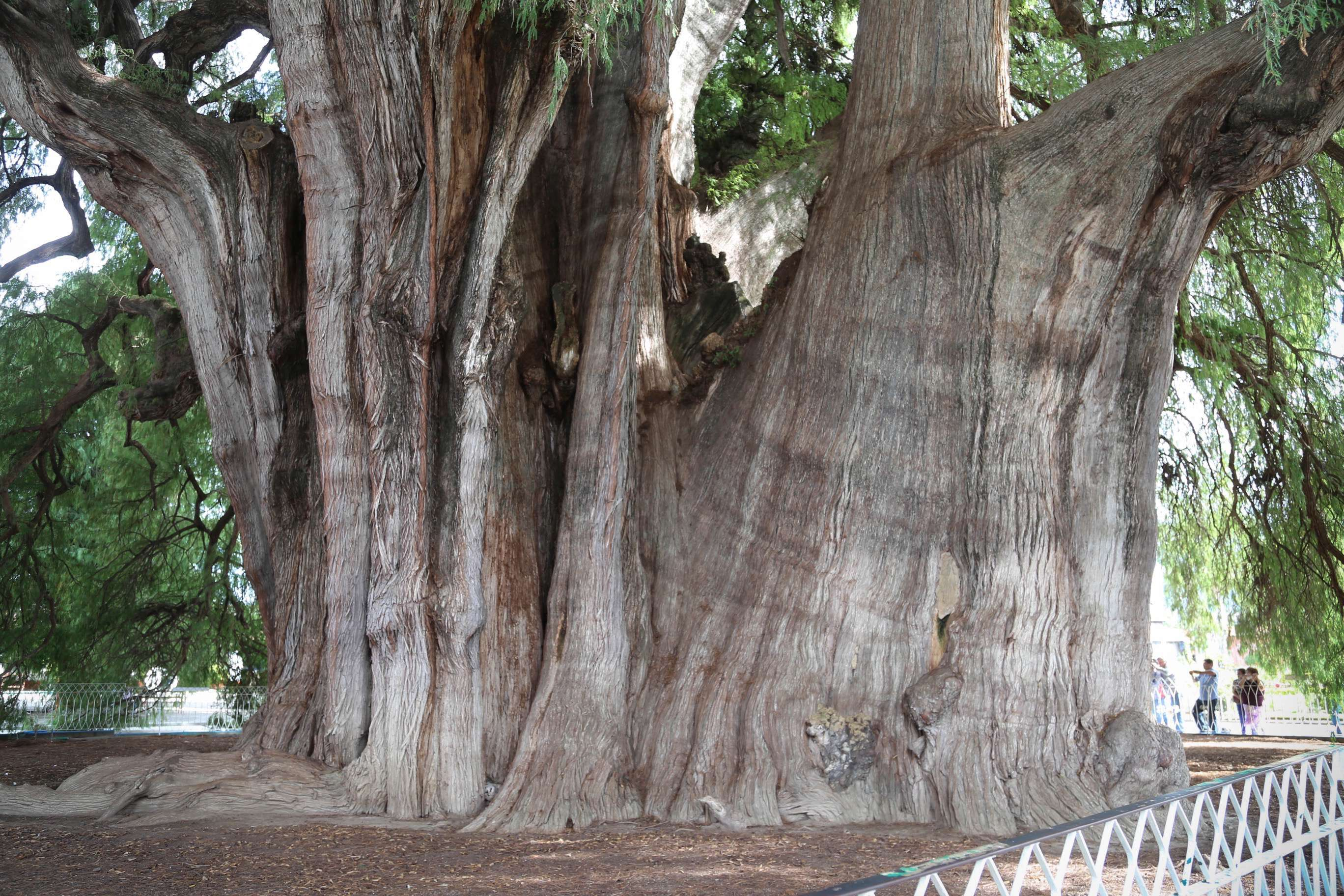 The sheer size and complexity of the tree's trunk is a true wonder of nature.