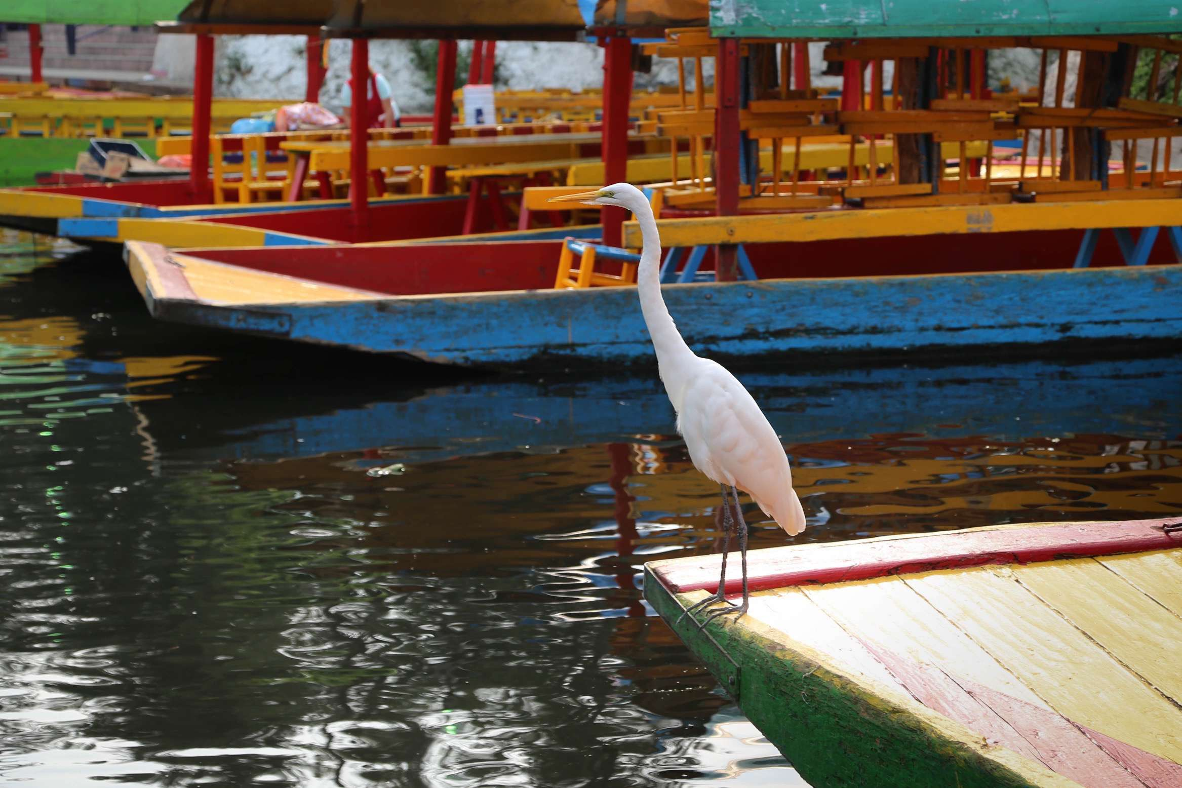 A bird patiently waits for a small fish to rise from the water at Xochimilco.
