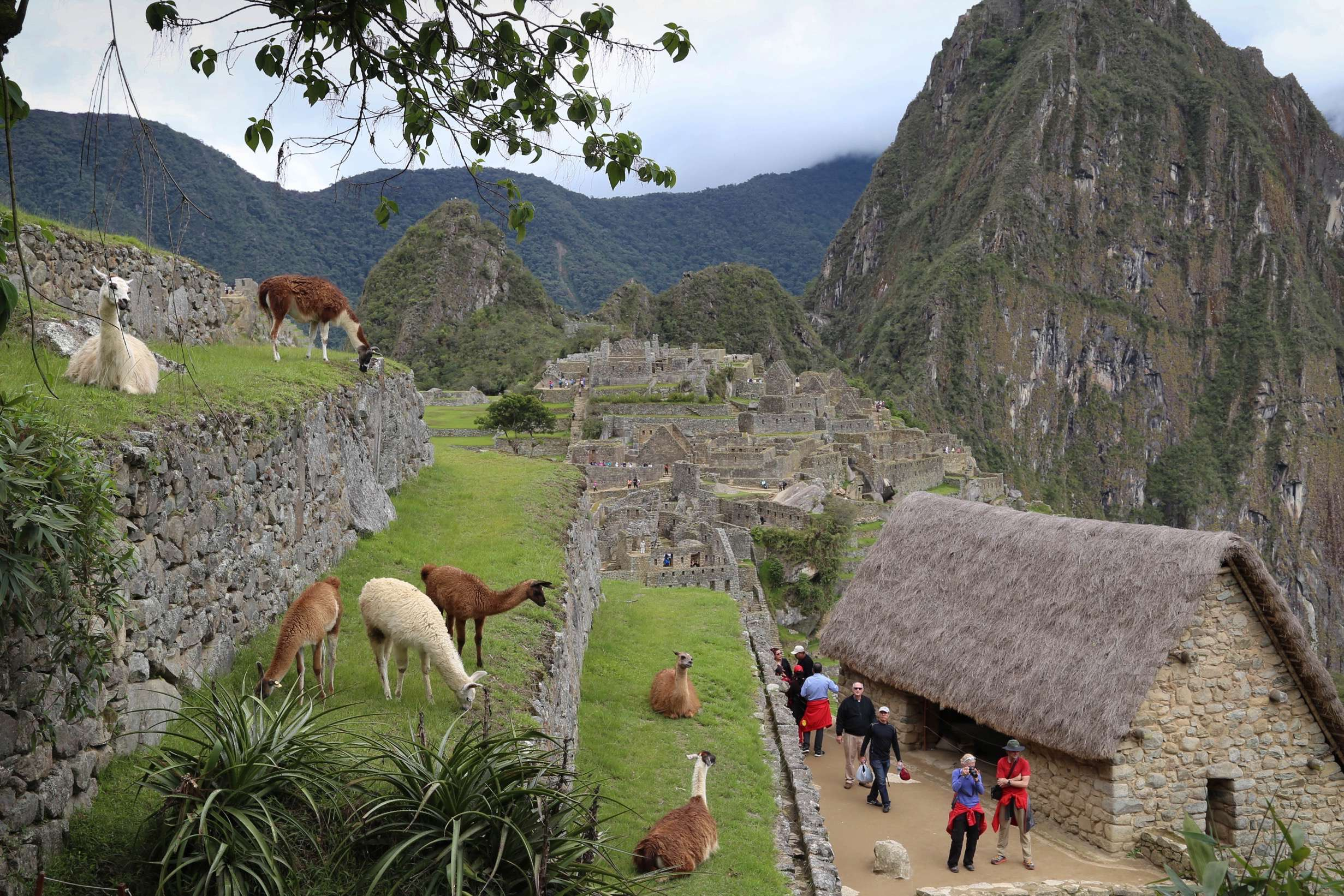 The llamas are a relatively new addition to Machu Picchu, but the do an excellent job of keeping the grass down on the terraces and other areas.