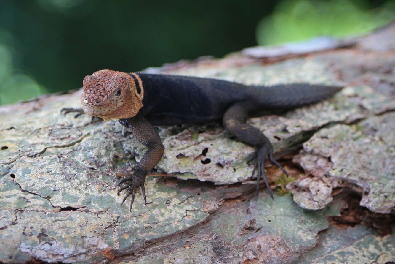 Creatures of all sorts, like this lizard call the Amazon home.