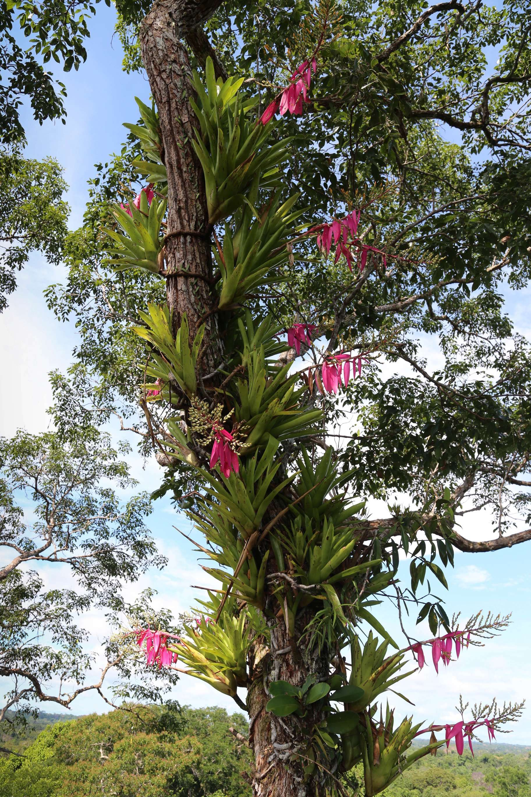 Bromeliads have claimed a portion of this tree trunk high in the jungle canopy.